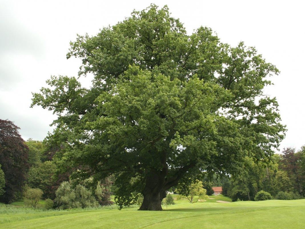 Дуб красный: фото и описание дерева