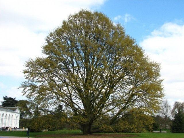 Дуб каштанолистный (Quercus castaneifolia)
