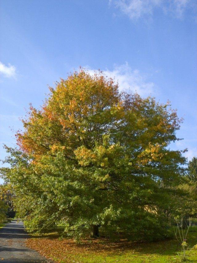Дуб болотный (Quercus palustris)