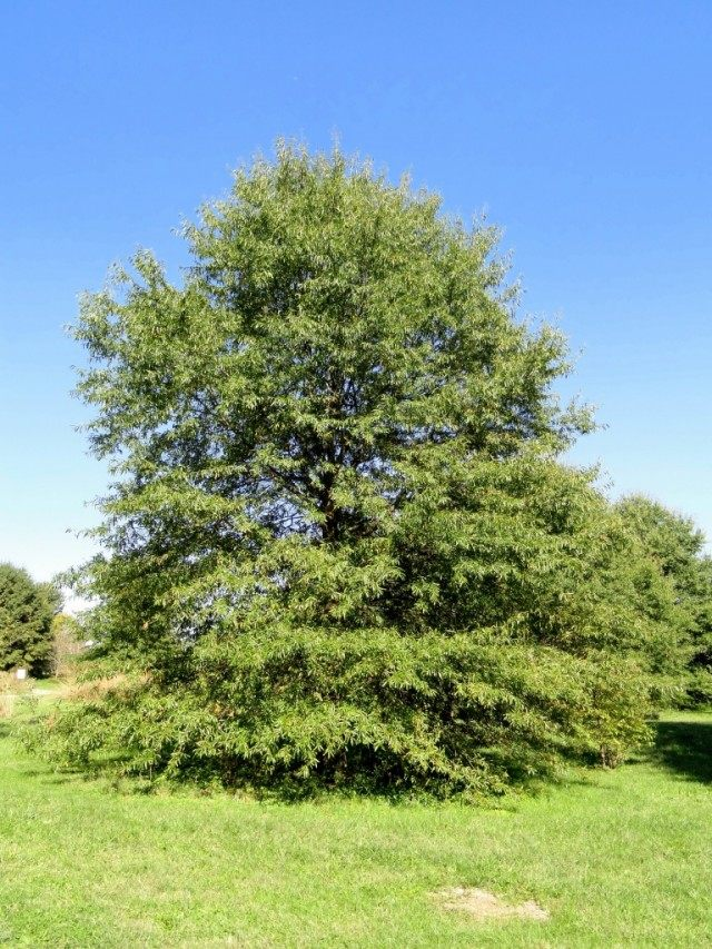 Дуб иволистный (Quercus phellos)
