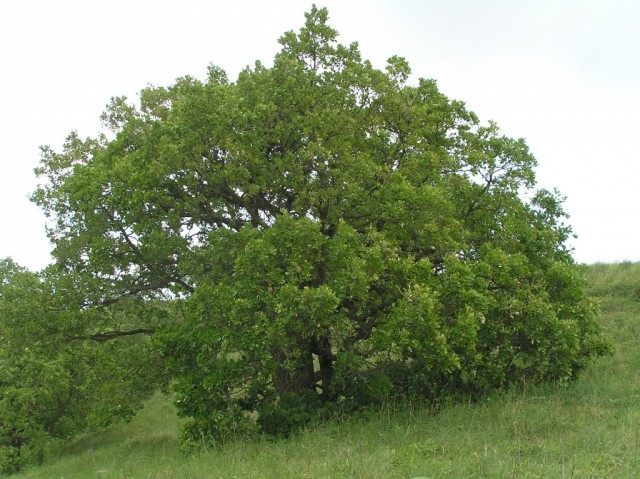 Дуб пушистый (Quercus pubescens)