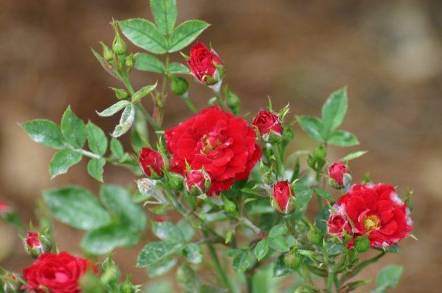 В первый год миниатюрные розы цветут не слишком обильно, зато на второй год они предстанут перед вами во всей своей красе