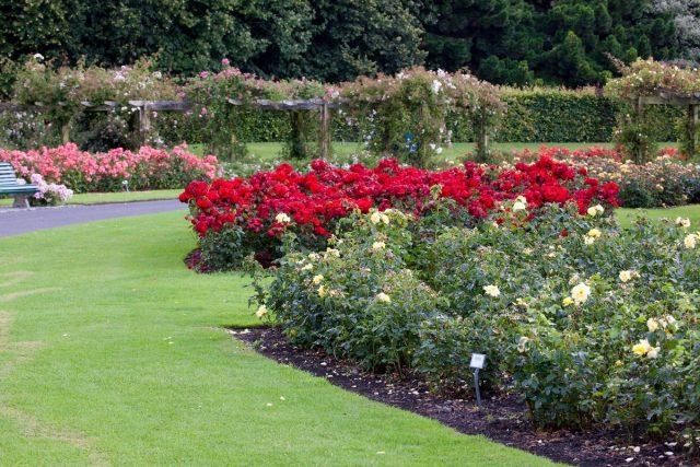 Миниатюрные розы в саду