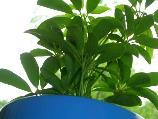 Шеффлера древовидная (Schefflera arboricola)