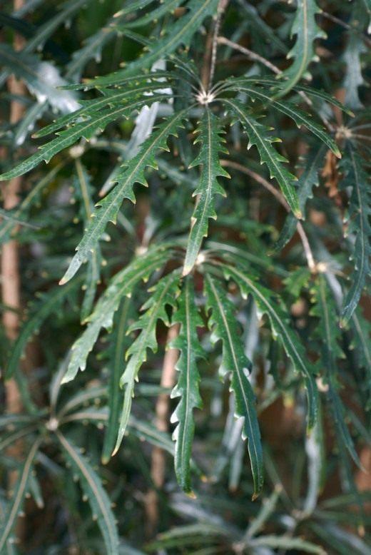 Шеффлера изящнейшая (Schefflera elegantissima)
