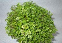 Солейролия — зелёный шар