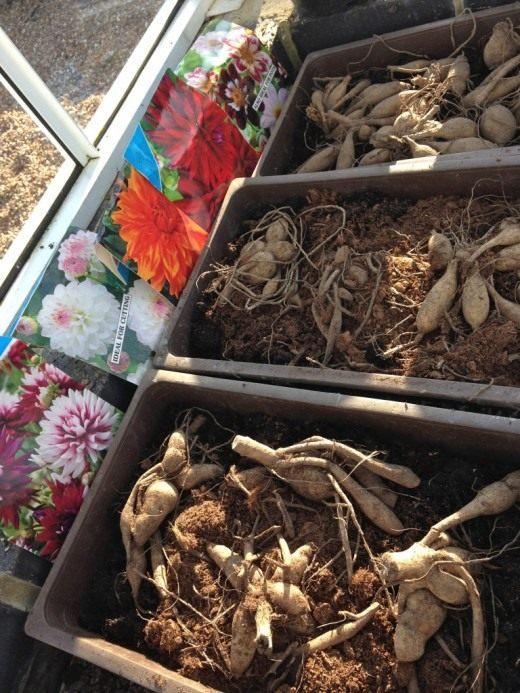 Посадка тюльпанов в корзинах для луковичных