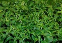 Стевия, или «медовые листья»