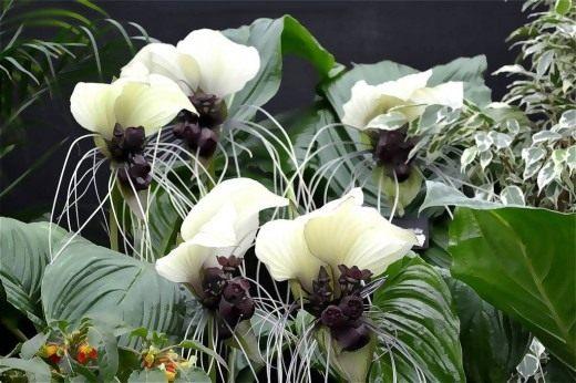 Такка цельнолистная (Tacca integrifolia)
