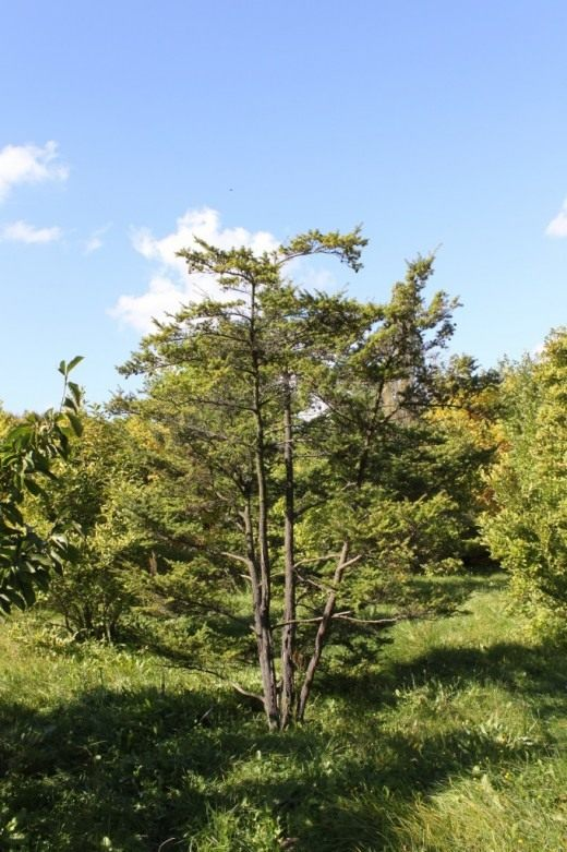 Тсуга разнолистная (Tsuga diversifolia)