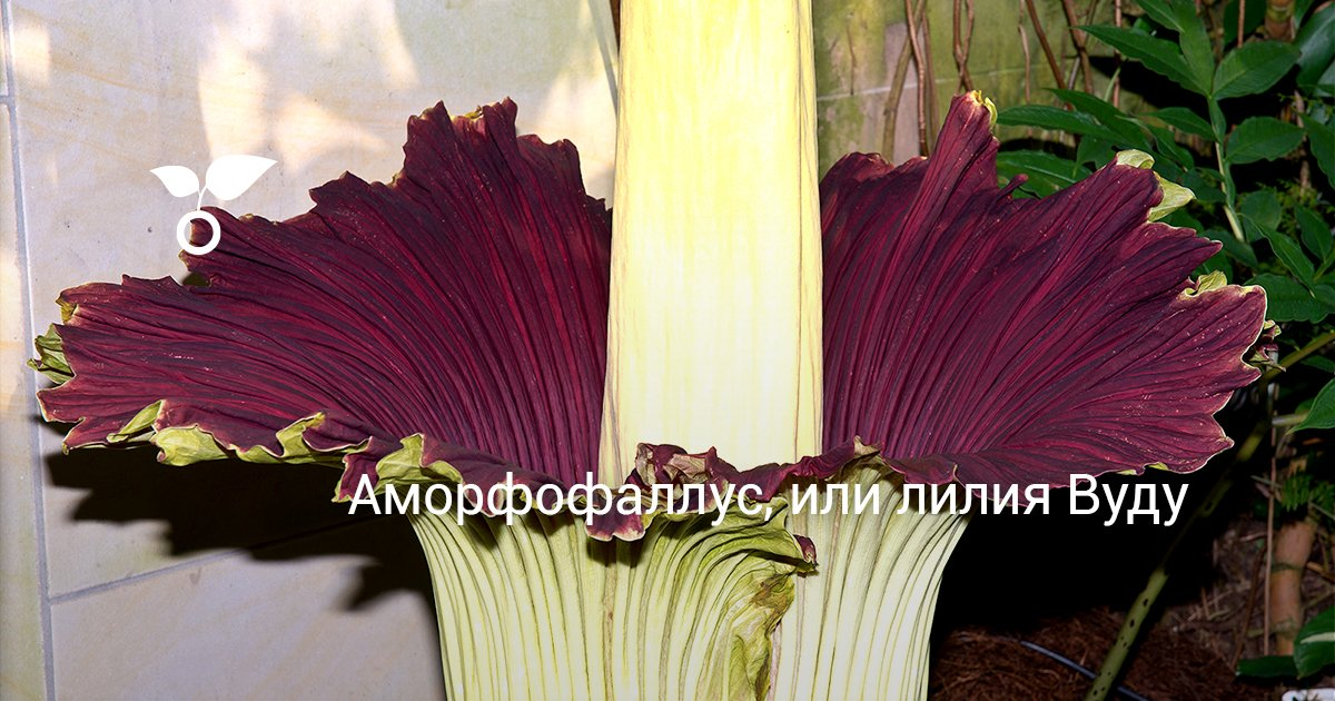 Аморфофаллус гигантский цветок пальма или комнатное растение