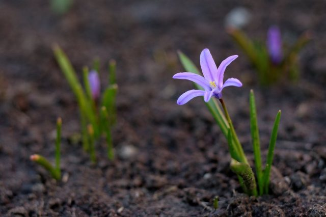 При грунтовом посеве семян молодые хионодоксы (Chionodoxa) зацветают на 3-4 год.