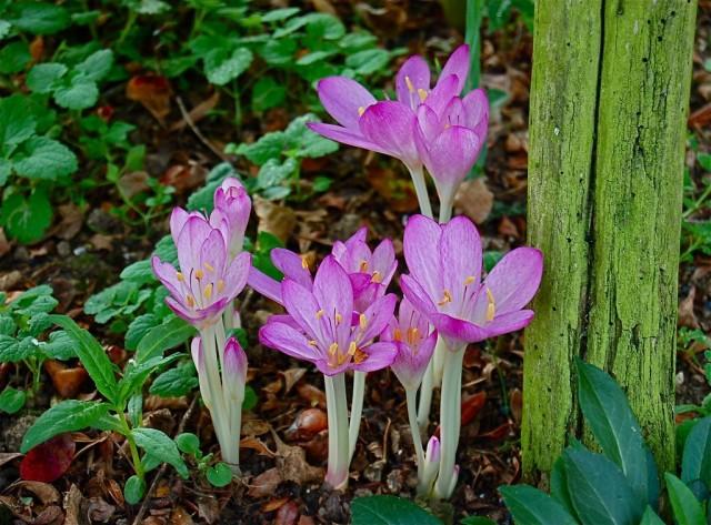 Главное преимущество безвременника — неприхотливость в цветении