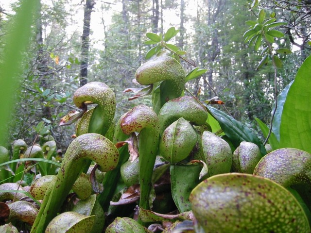 Дарлингтония (Darlingtonia)