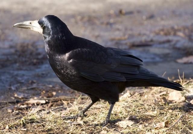 Грач (лат. Corvus frugilegus)