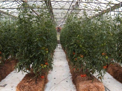 Промышленное выращивание томата в гидропонной системе