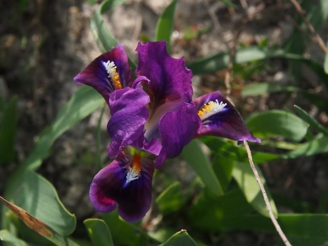 Ирис кожистый (Iris scariosa)