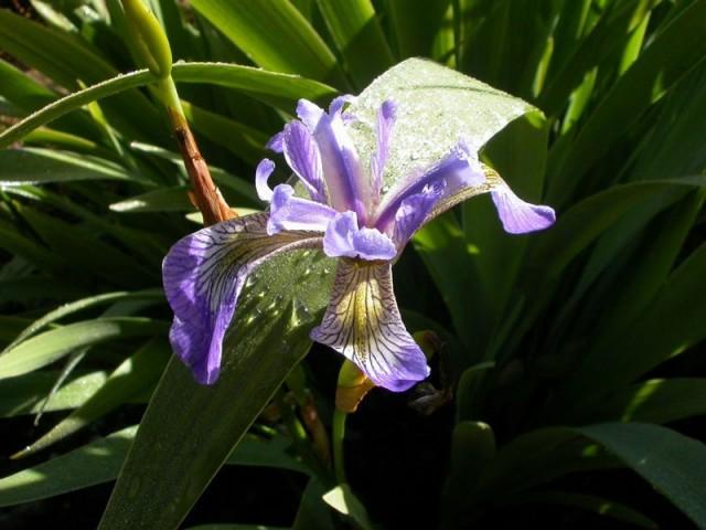 Ирис Альберта (Iris albertii)