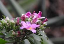 Переския большецветковая (Pereskia grandiflora)