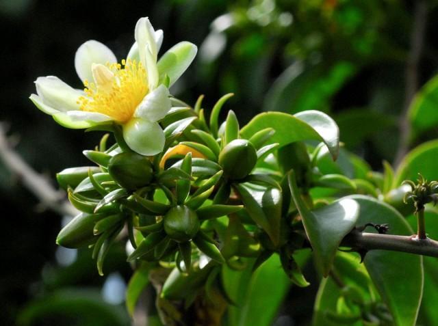 Переския шиповатая, или Переския колючая, или Барбадосский крыжовник (лат. Pereskia aculeata)