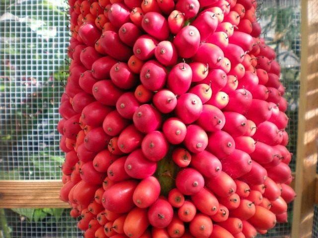 Плоды Аморфофаллуса титанического