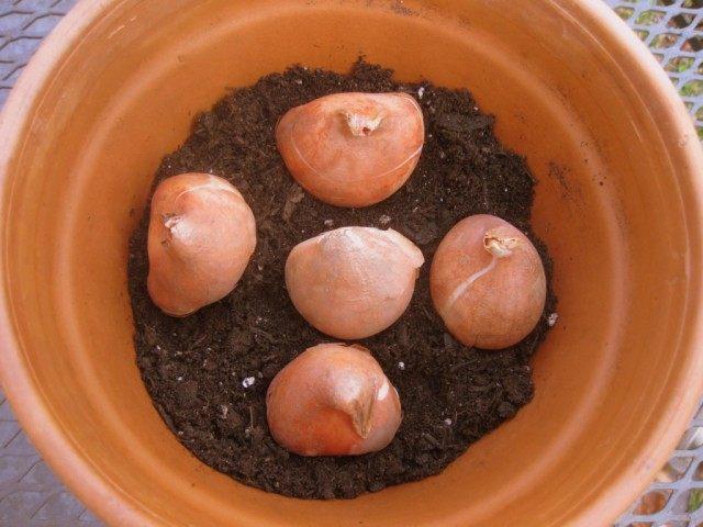 Посадка луковиц тюльпана для выгонки