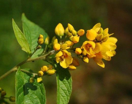 Вербейник обыкновенный (Lysimachia vulgaris)