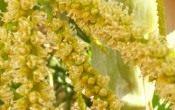 Хризалидокарпус — золотой плод