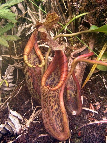 Природный гибрид Непентеса Бэрбиджа
