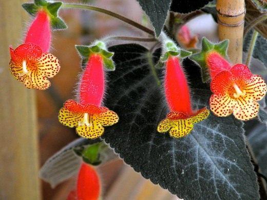 Колерия — пушистые соцветия
