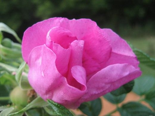 Роза морщинистая