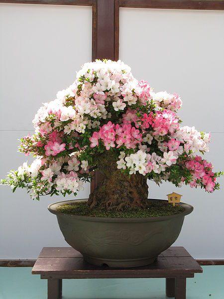 Мирт обыкновенный или Адамово дерево  Комнатные растения