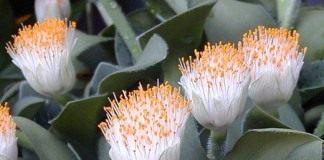 Гемантус (Haemanthus)