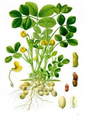 Ботаническая иллюстрация: Арахис культурный. A — растение с корнем, цветками и подземными плодами (бобами); 1 — цветок в продольном разрезе; 2 — спелый плод (боб); 3 — то же в продольном разрезе; 4 — семя; 5 — зародыш, вид снаружи; 6 — зародыш после удаления семядоли.