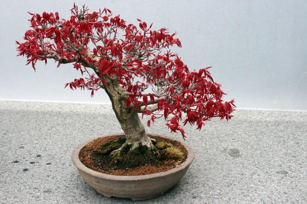 Бонсай красный клен выращивание 48