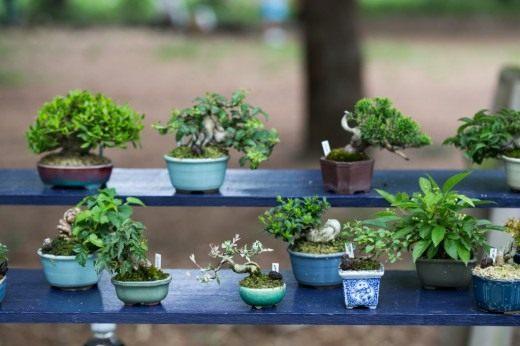 Как выращивать дерево бонсай из семян в домашних условиях