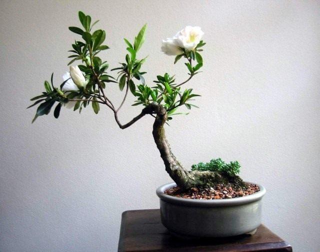 Рододендрон в форме бонсай. Растению 22 года
