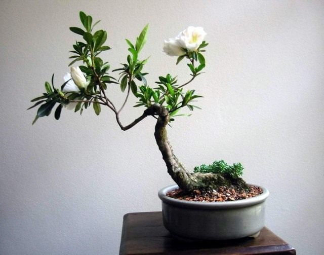 Рододендрон в форме Бонсай