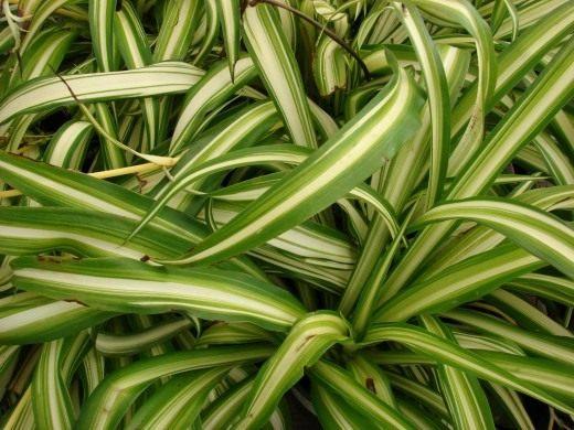 Растения, которые нам помогают дома