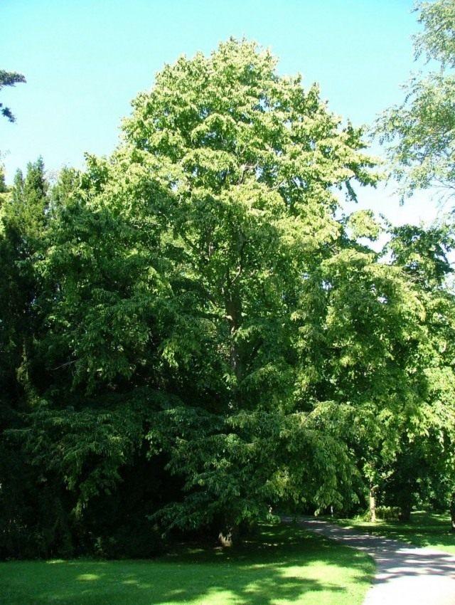 Лещина древовидная, или Орех медвежий (Corylus colurna)
