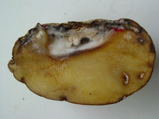 Фузариоз клубня картофеля