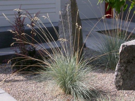 Овсец вечнозелёный, или геликтотрихон (Helictotrichon sempervirens)