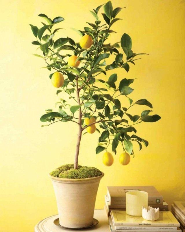 Лимон наделен очень важным свойством — тонизировать человека
