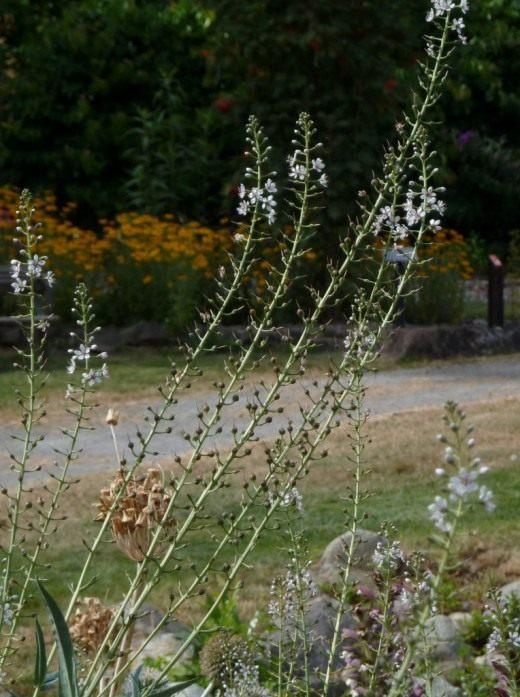 Вербейник эфемерный (Lysimachia ephemerum)