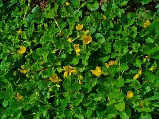 Вербейник монетный, или монетчатый, или Луговой чай (Lysimachia nummularia)