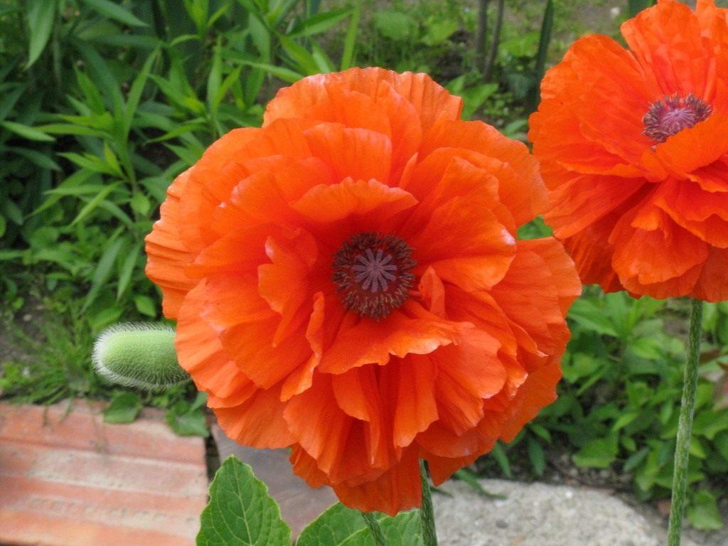 Цветы розы и удобрение к ним