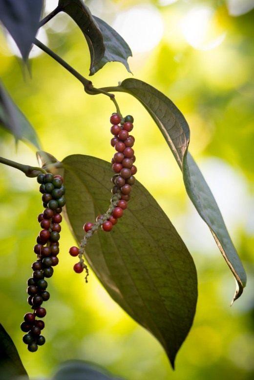 Перец чёрный (Piper nigrum)