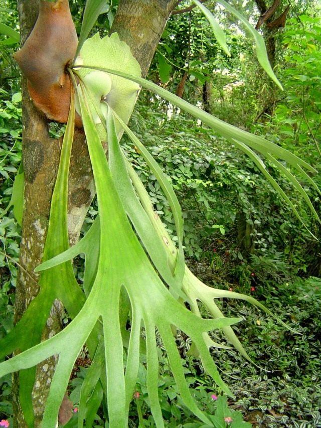 Платицериум двувильчатый (Platycerium bifurcatum)