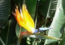 Стрелитция – райская птица.