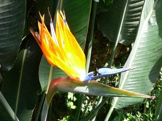 Стрелитция — райская птица